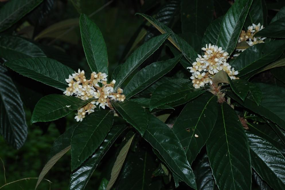 Eriobotrya japonica 5
