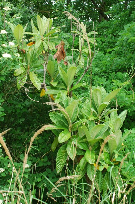 Eriobotrya japonica 8