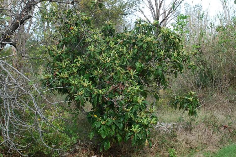 Eriobotrya japonica 9