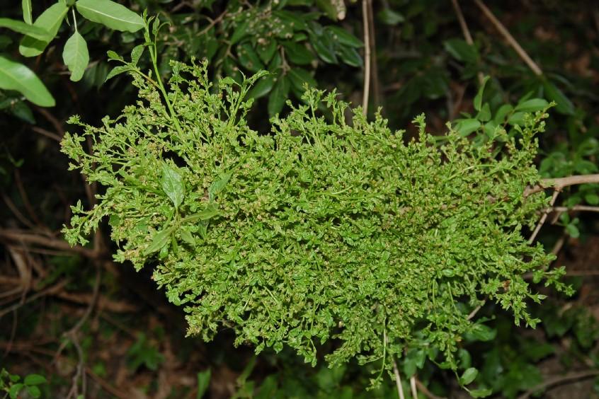 Eriophyes pistaciae - Acari, Eriophyoidea (Terebinto)