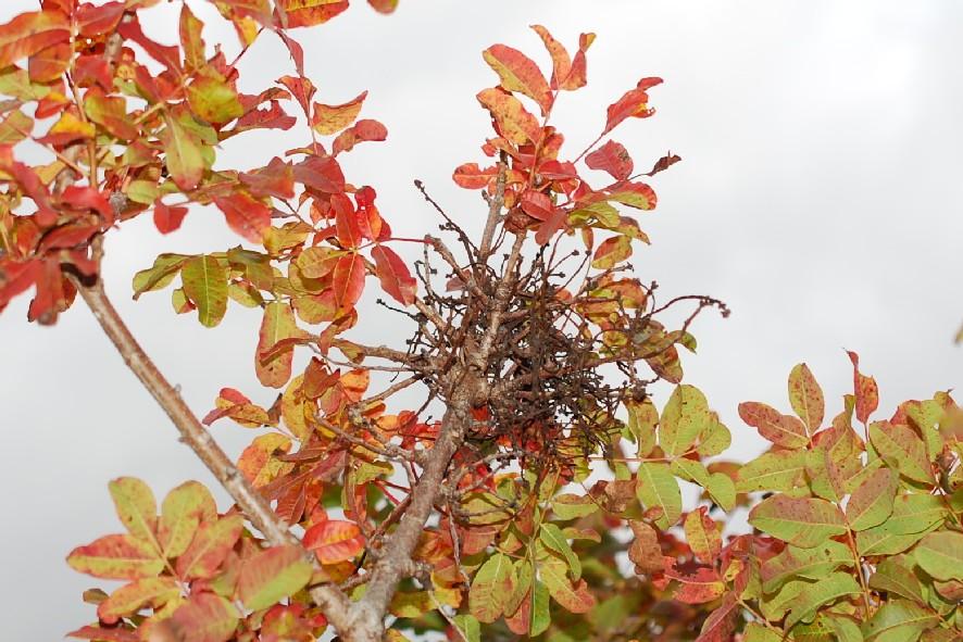Eriophyes pistaciae - Acari, Eriophyoidea (Terebinto) 3