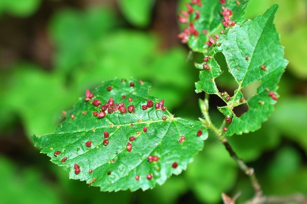 Eriophyes prunianus - Superfam. Eriophyoidea 3