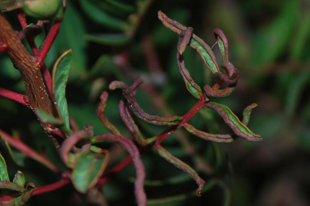 Eriophyes stefanii - Acari, Eriophyoidea