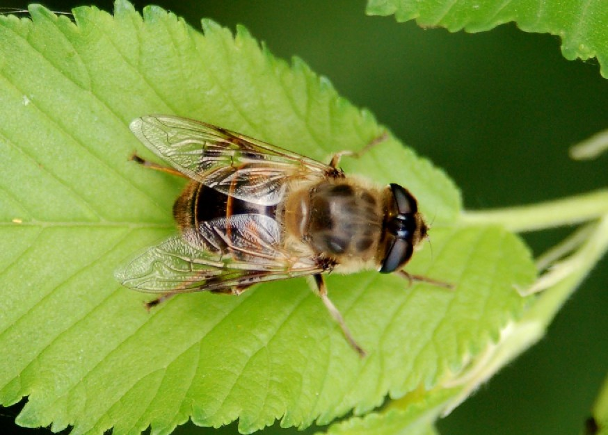 Eristalis arbustorum -  Syrphidae