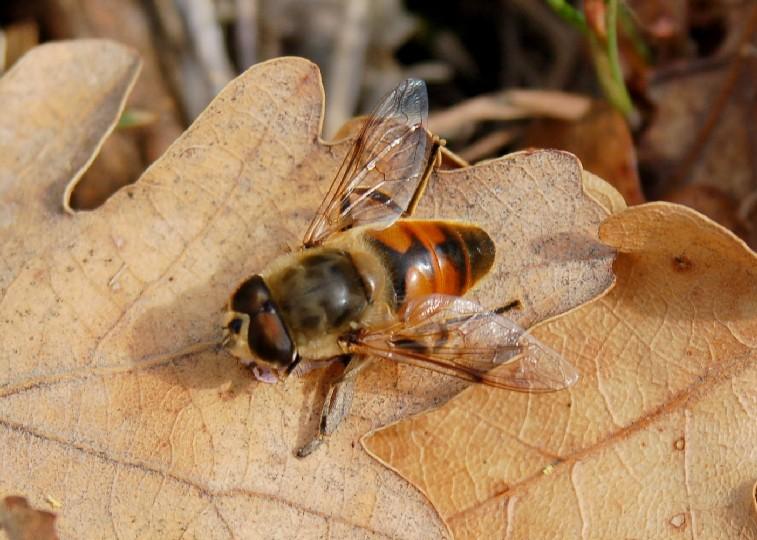 Eristalis sp. - Syrphidae