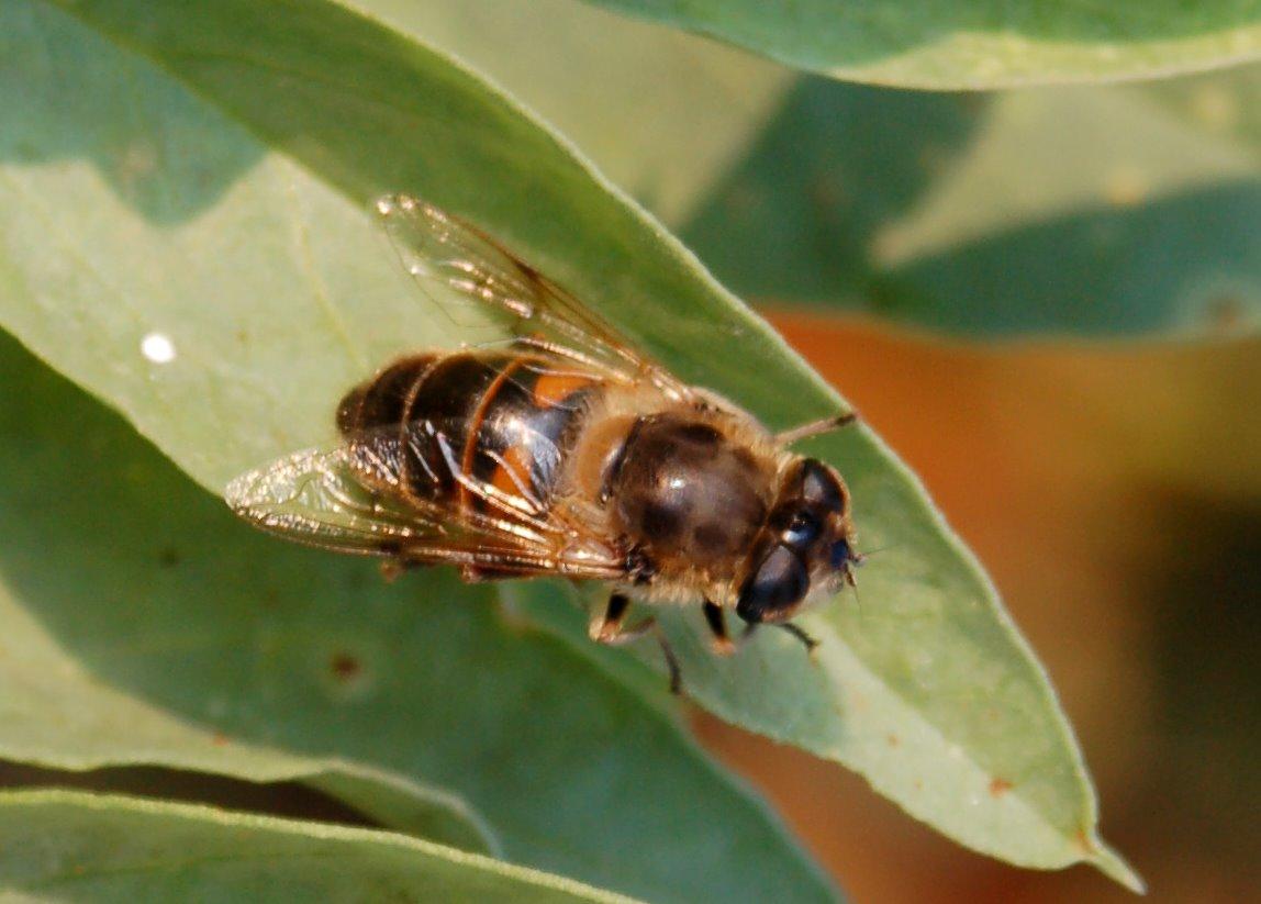 Eristalis sp. 2 - Syrphidae