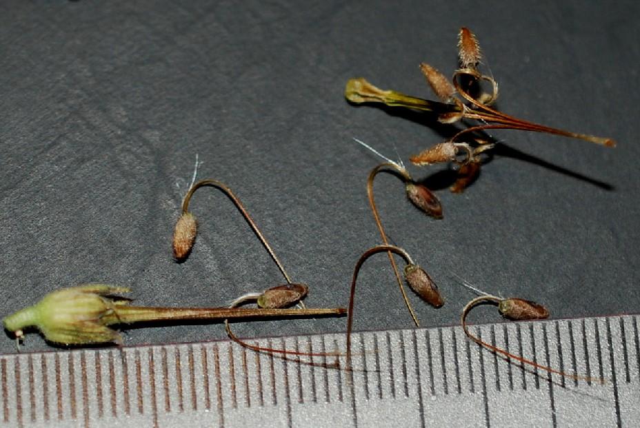 Erodium alnifolium 12