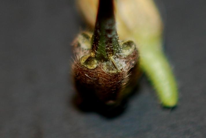 Erodium alnifolium 13