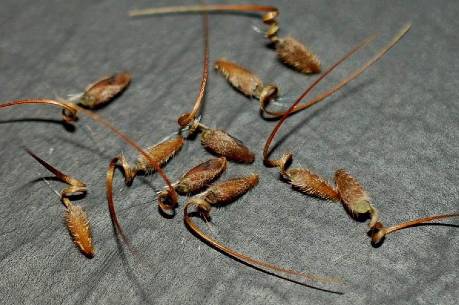 Erodium alnifolium 14
