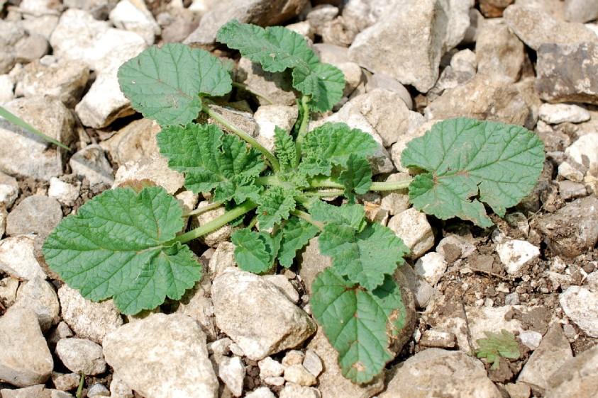 Erodium alnifolium 16