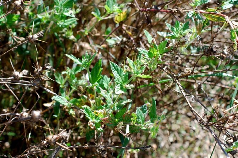 Erodium alnifolium 7