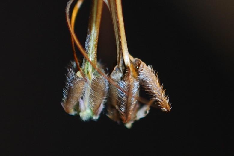Erodium alnifolium raffronto