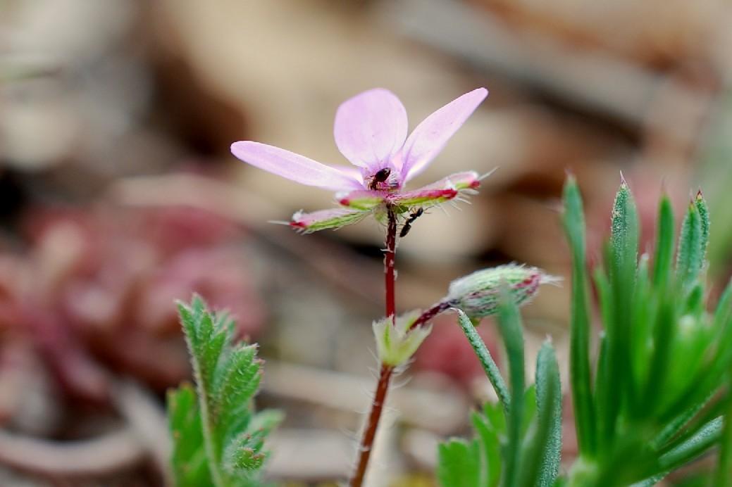 Erodium cicutarium 11