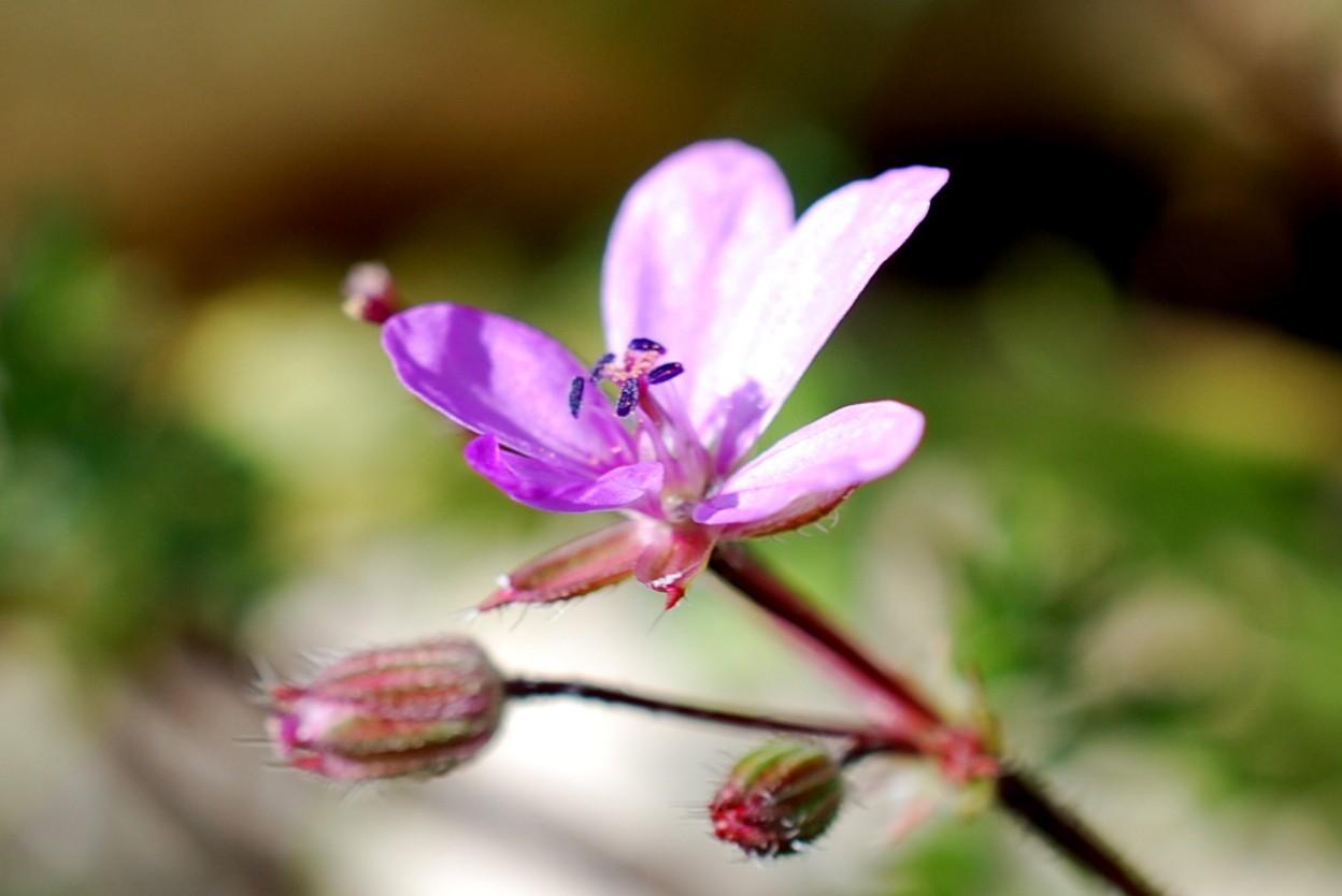 Erodium cicutarium 14