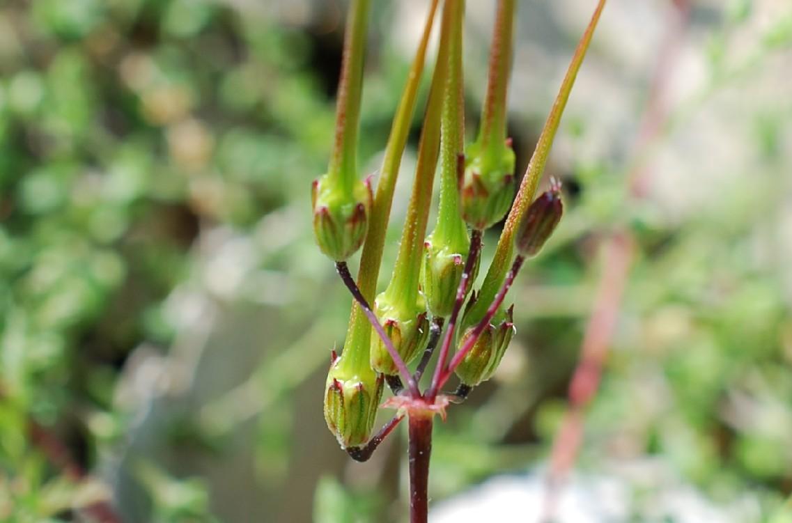 Erodium cicutarium 17