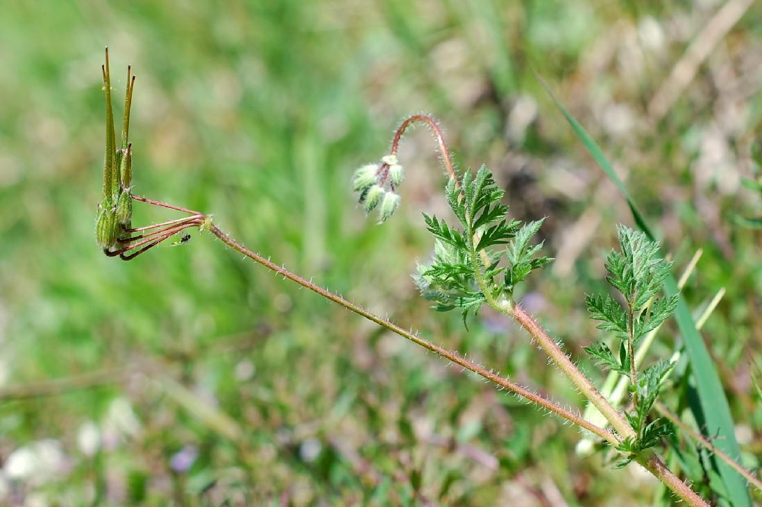Erodium cicutarium 25