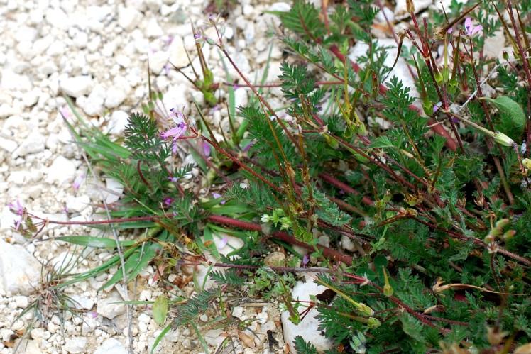 Erodium cicutarium 26