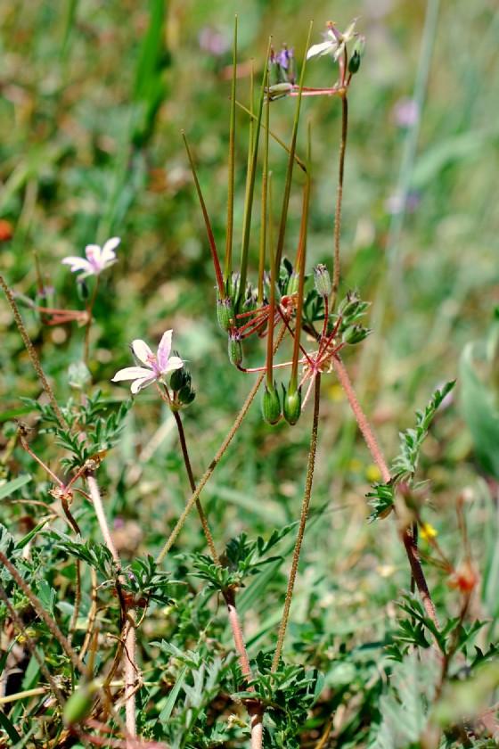 Erodium laciniatum