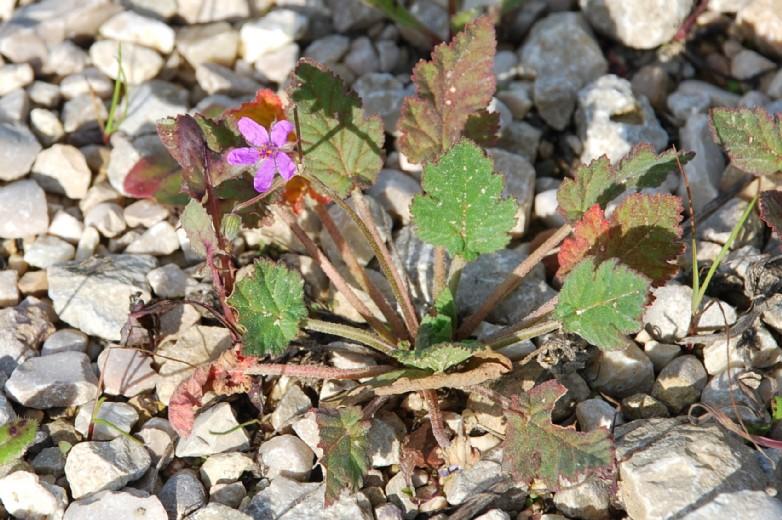 Erodium malacoides subsp. malacoides 10