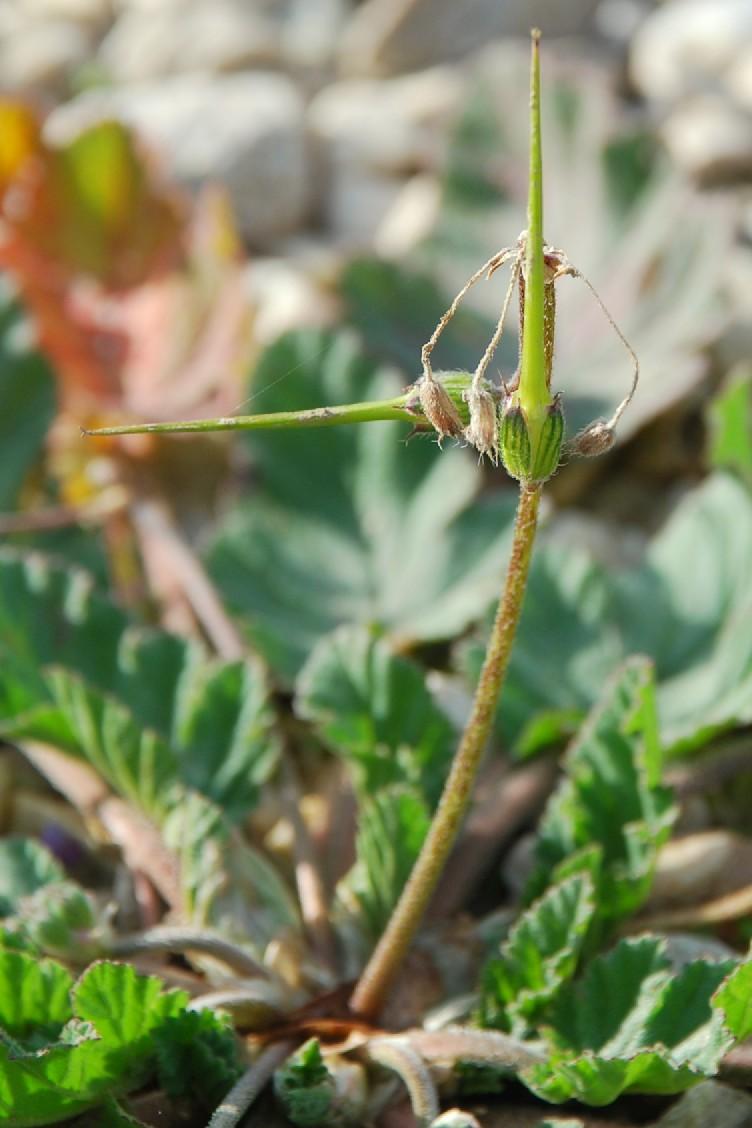 Erodium malacoides subsp. malacoides 11