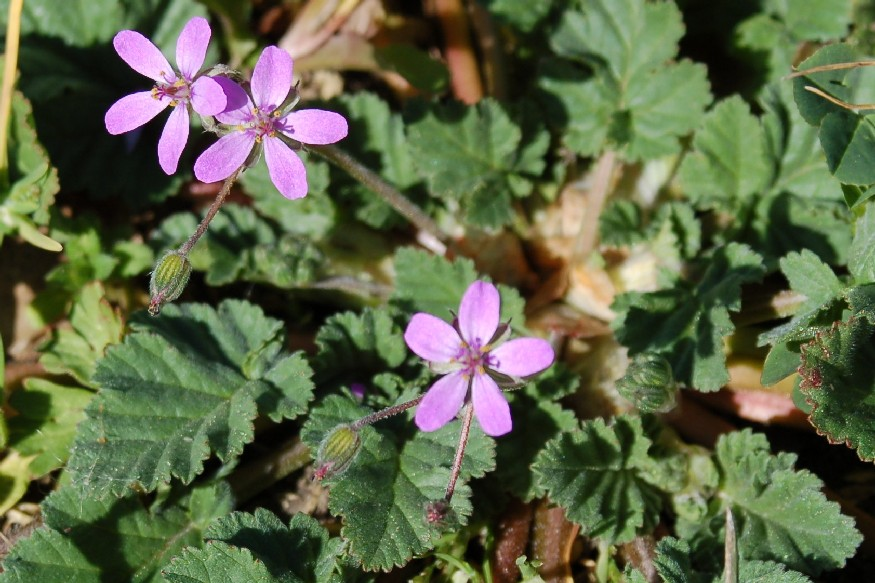 Erodium malacoides subsp. malacoides 8