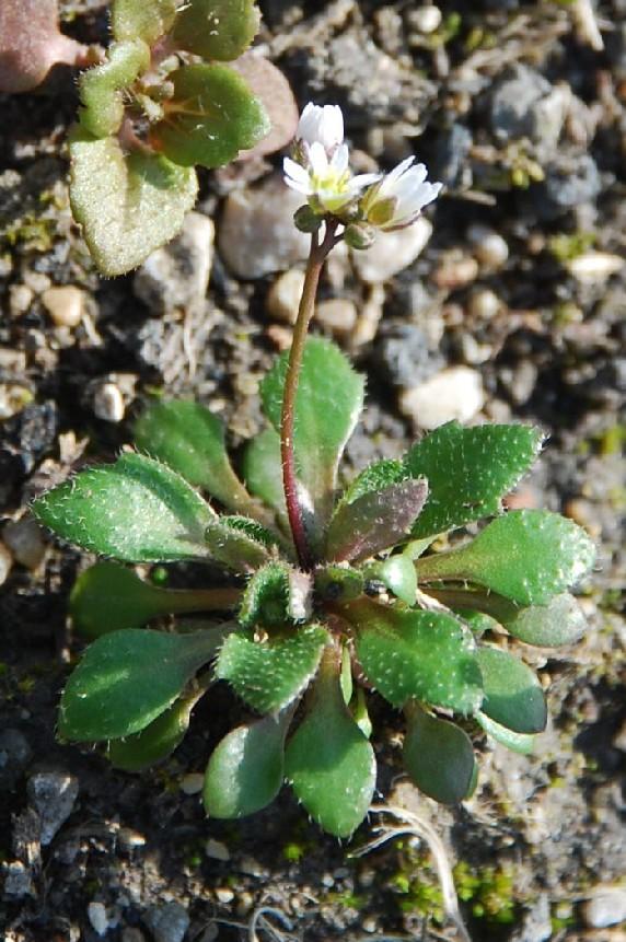Erophila verna 10