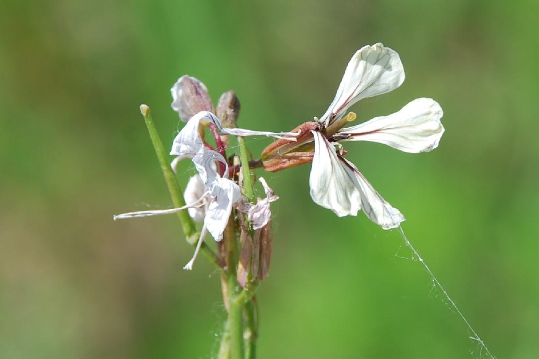 Eruca vesicaria 6