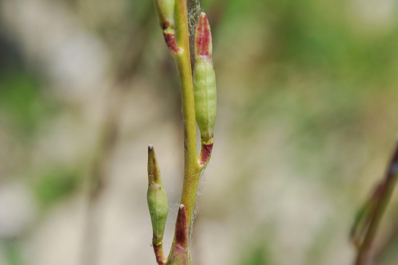 Eruca vesicaria 8