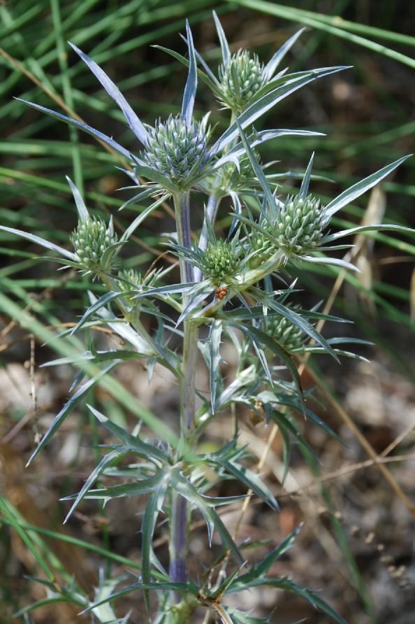 Eryngium amethystinum 8