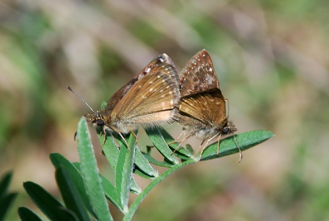 Erynnis tages -  Hesperiidae 4