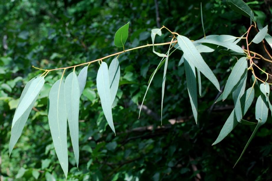 Eucalyptus camaldulensis 3