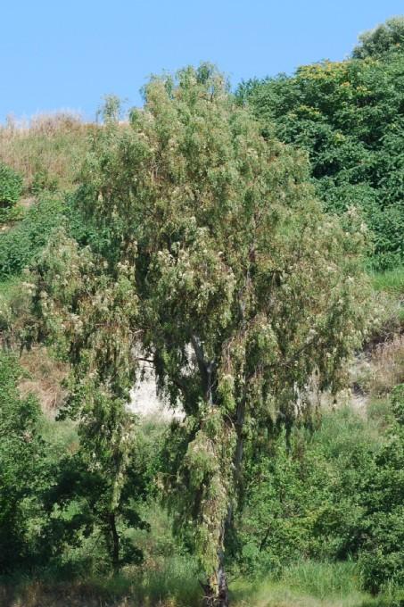 Eucalyptus camaldulensis 6