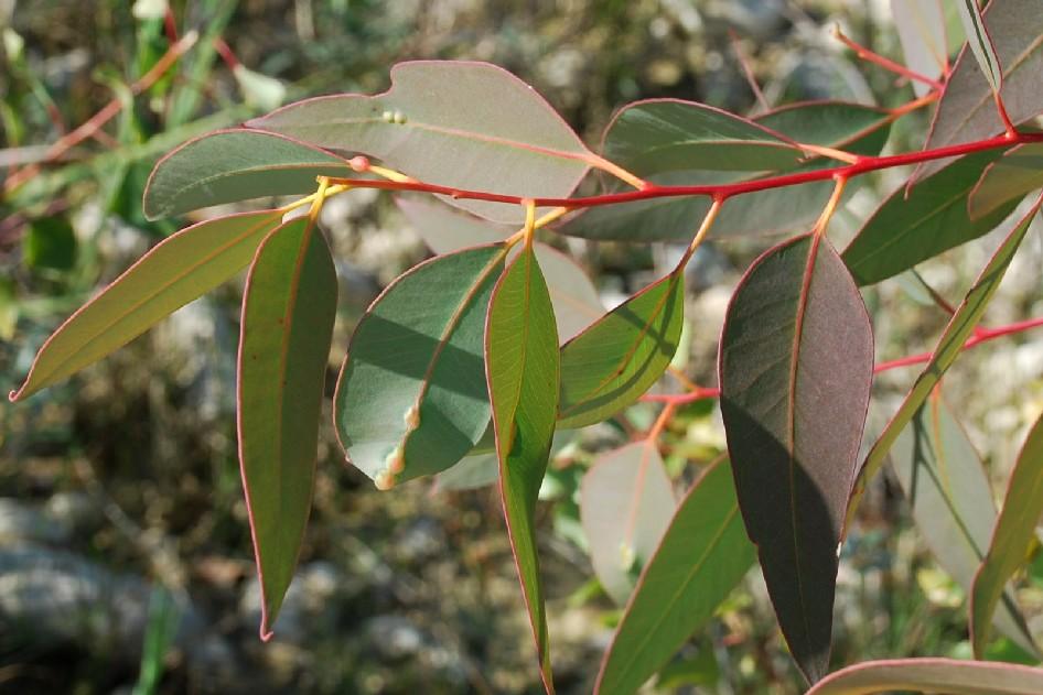 Eucalyptus camaldulensis 8