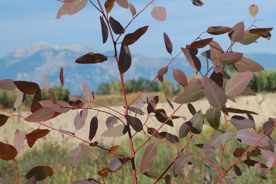 Eucalyptus camaldulensis 9