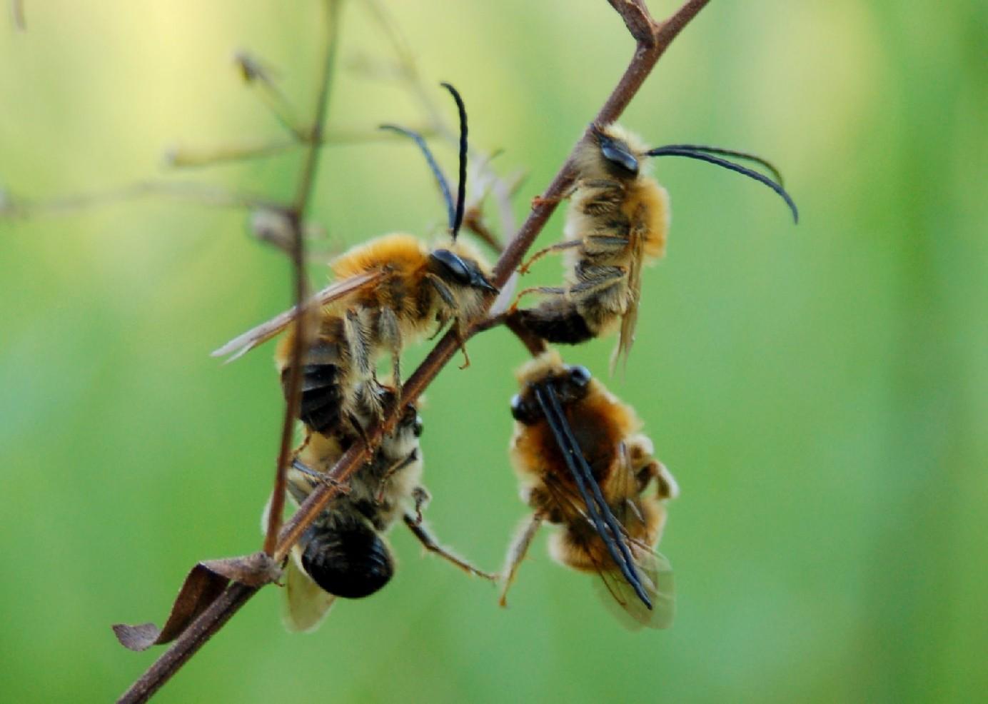 Eucera sp. - Apidae