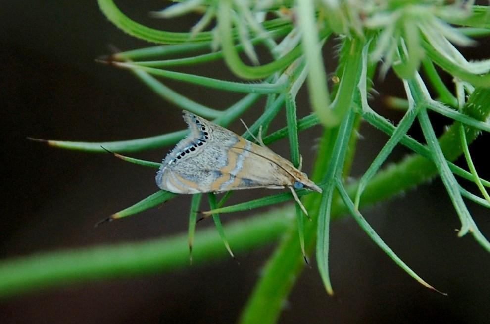 Euchromius bella - Crambidae