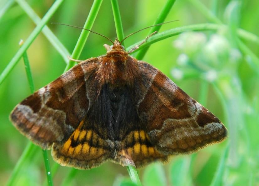 Euclidia glyphica - Noctuidae
