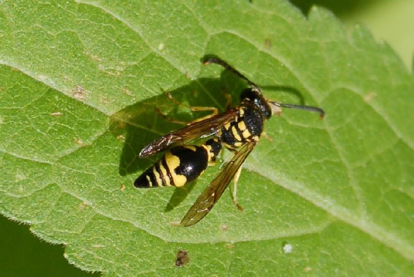 Eumenidae