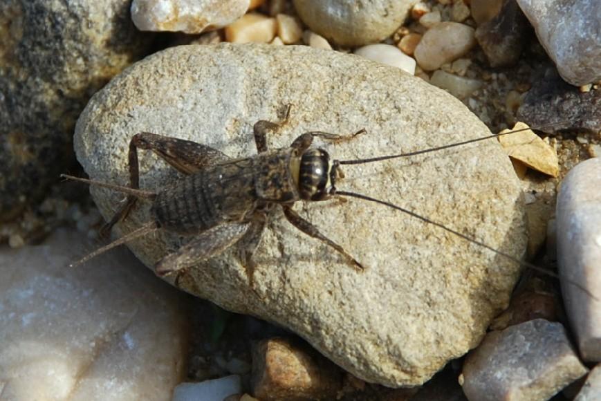 Eumodicogryllus bordigalensis - Gryllidae