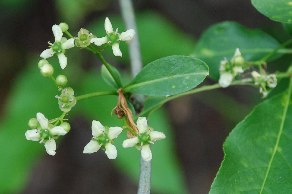 Euonymus europaeus