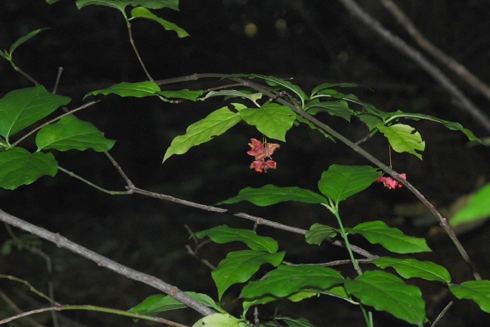 Euonymus latifolius 14