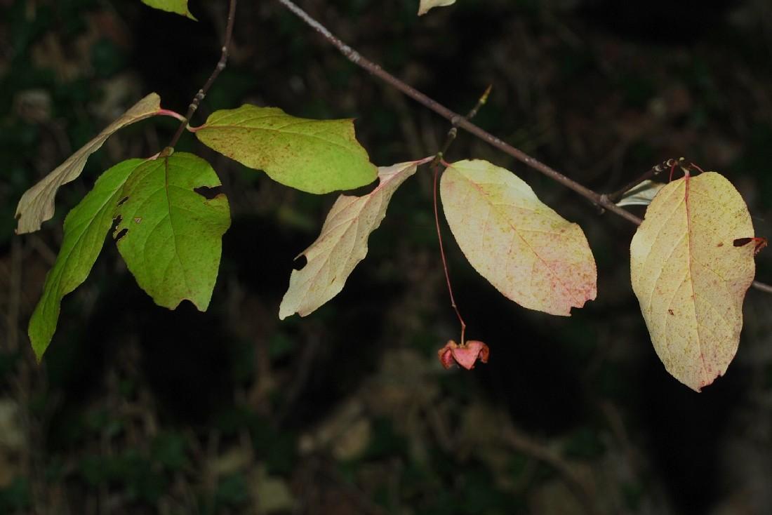 Euonymus latifolius 15