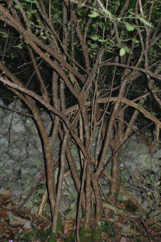 Euonymus latifolius 17
