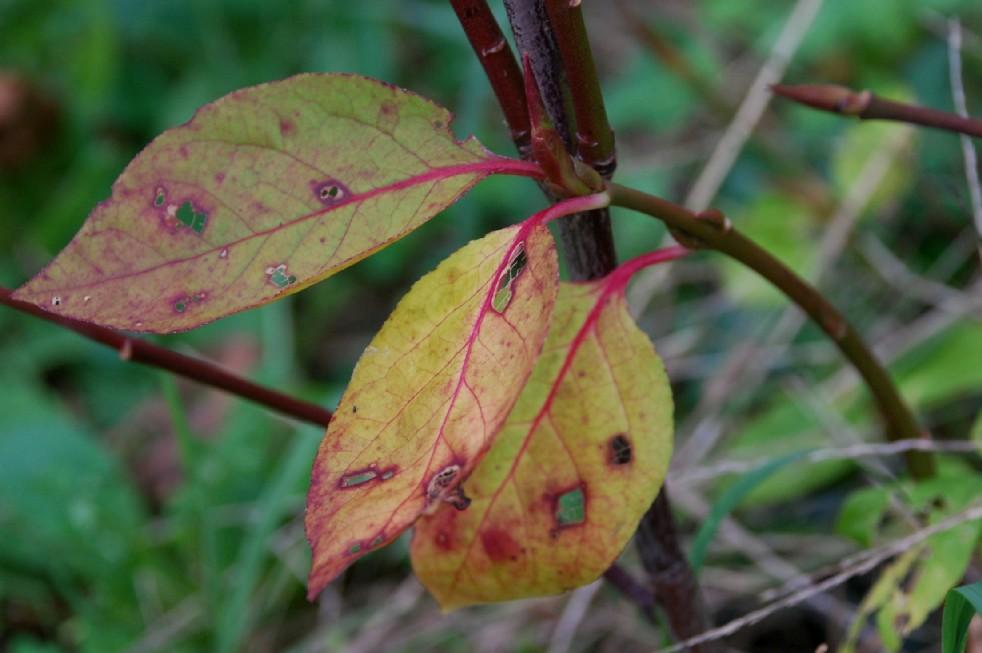 Euonymus latifolius 2