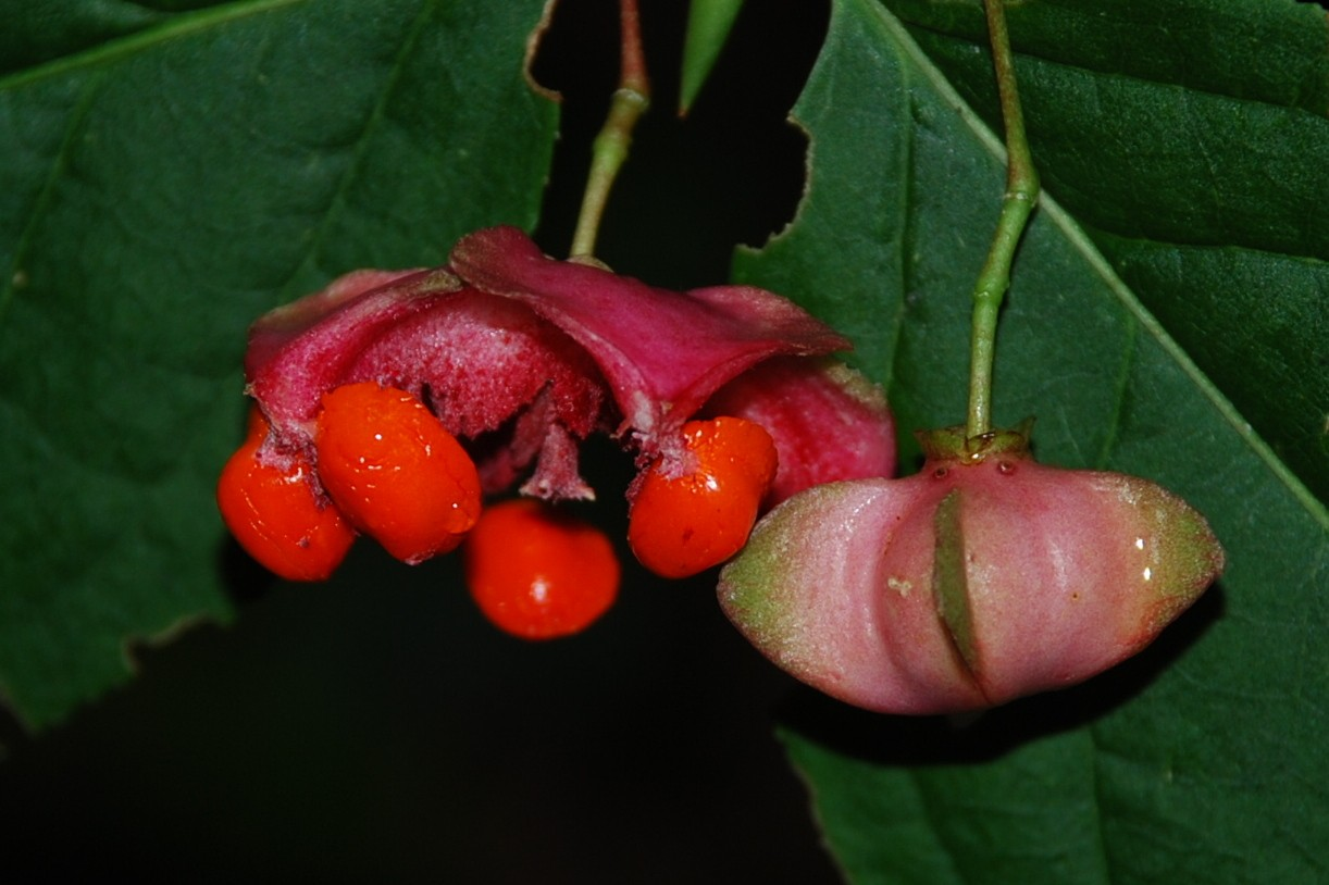Euonymus latifolius 6