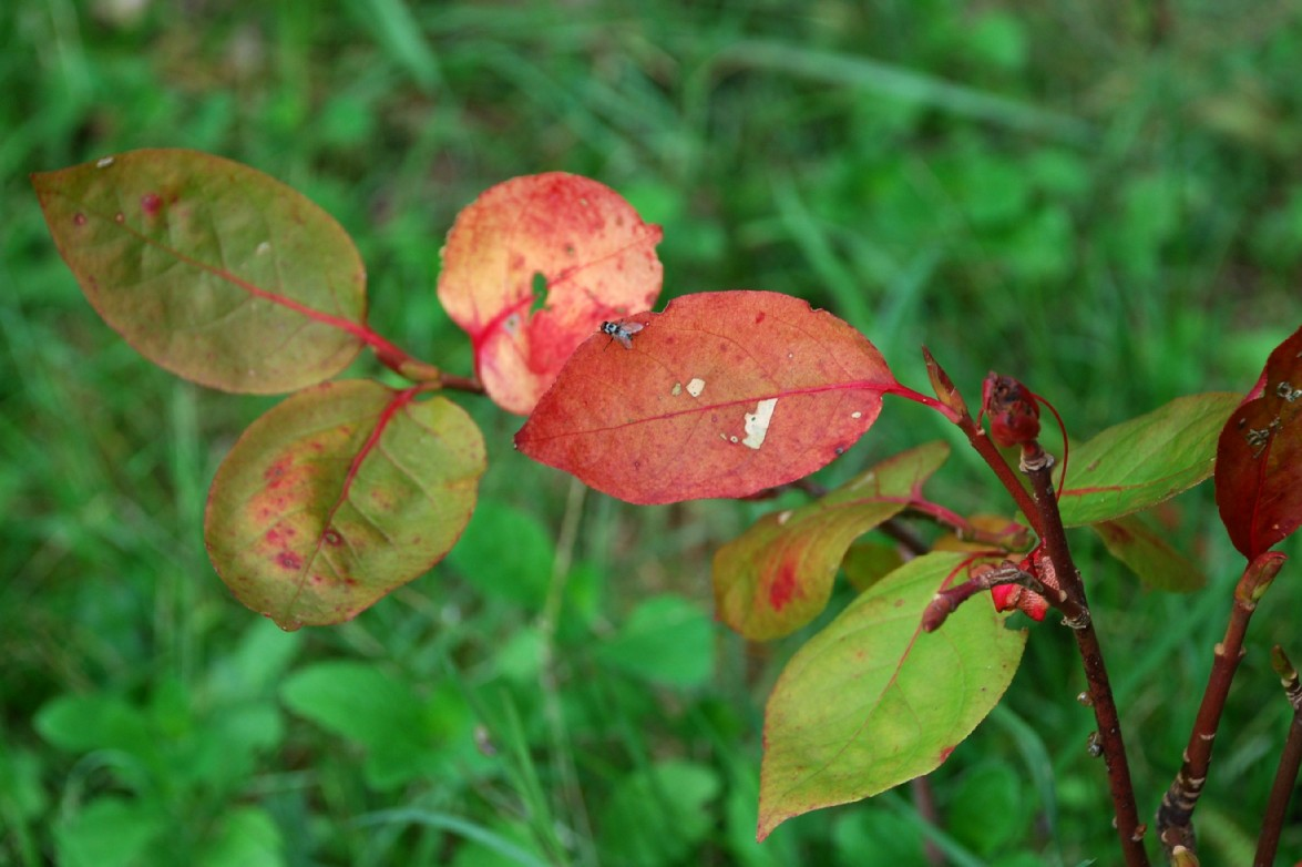 Euonymus latifolius 8