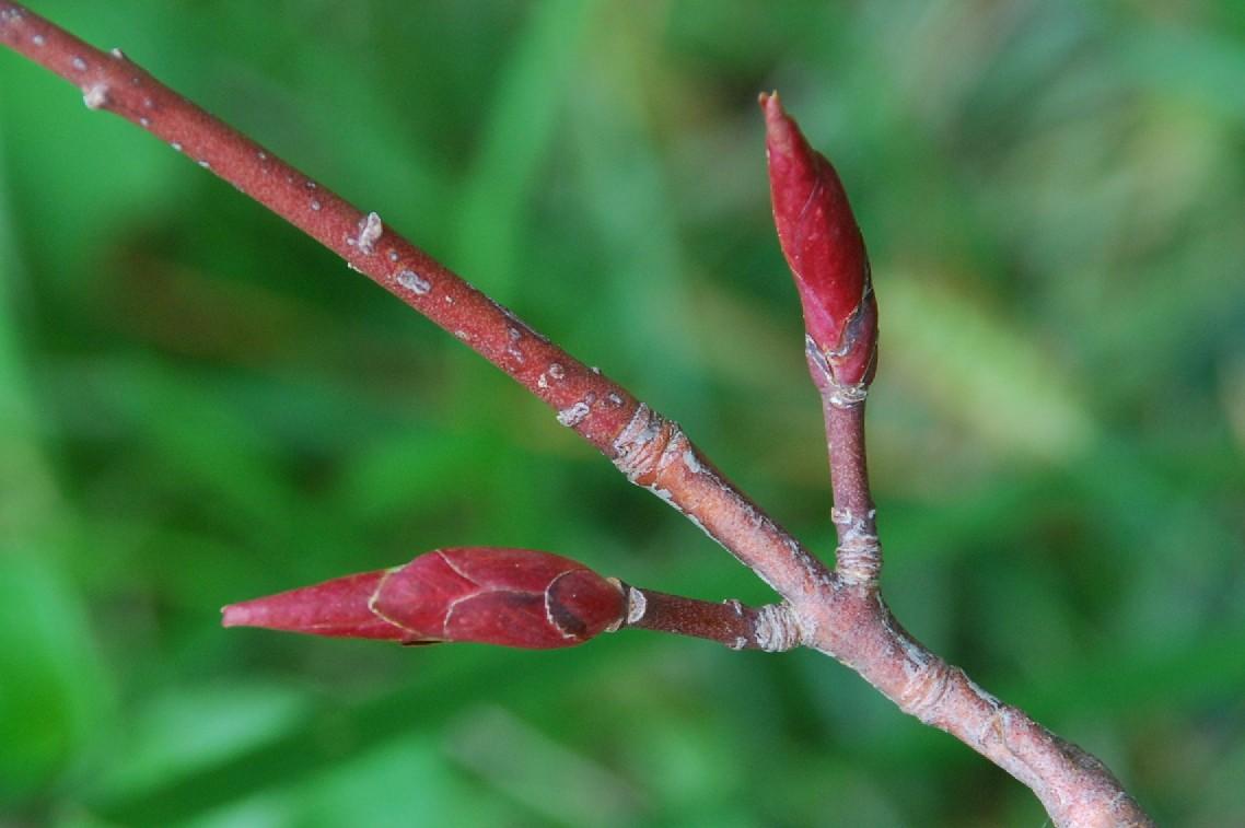 Euonymus latifolius 9