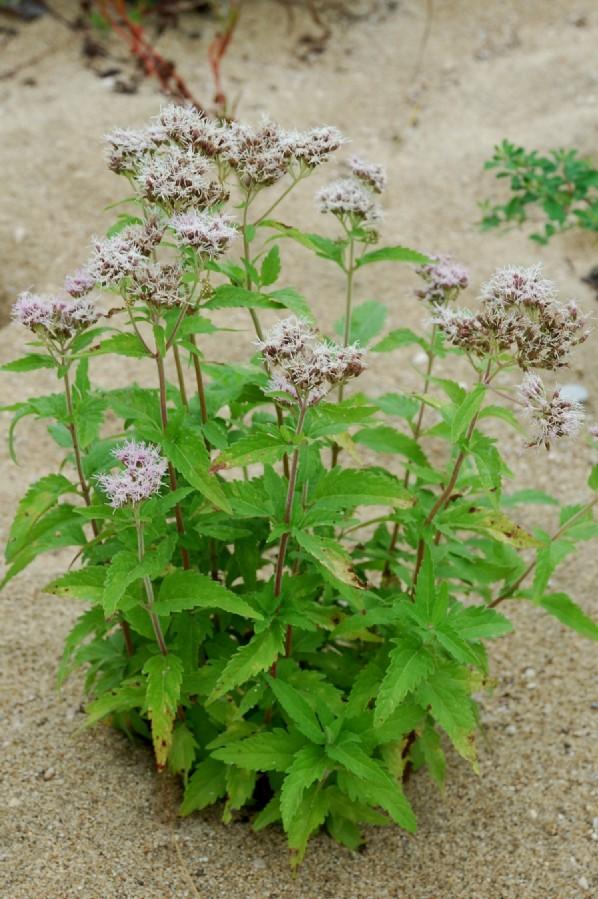 Eupatorium cannabinum subsp. cannabinum 14