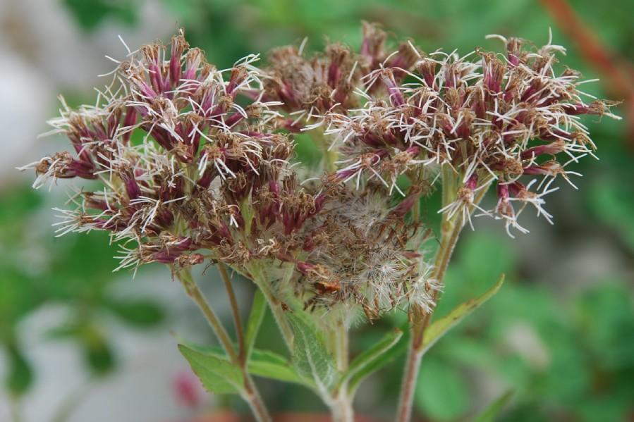 Eupatorium cannabinum subsp. cannabinum 16