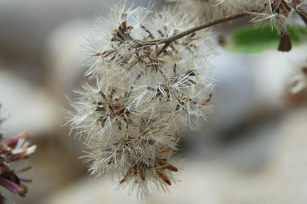 Eupatorium cannabinum subsp. cannabinum 19